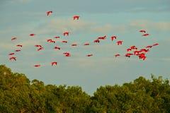 Écarlate IBIS, ruber d'Eudocimus, oiseau rouge exotique, habitat de nature, colonie d'oiseau s'asseyant sur l'arbre, marais de Ca image stock