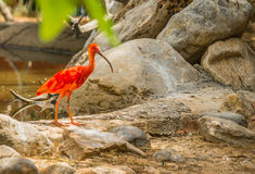 Écarlate lumineuse IBIS et d'autres oiseaux marchant en parc Photos stock
