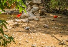 Écarlate lumineuse IBIS et d'autres oiseaux marchant en parc Photographie stock libre de droits