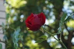 Écarlate Rose image libre de droits
