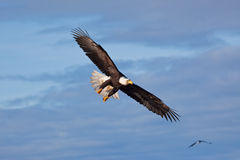 Écart d'ailes de vol d'aigle images libres de droits