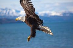 Écart d'ailes de vol d'aigle Images stock