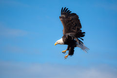 Écart d'ailes de vol d'aigle Photos stock