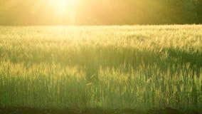 Échange de gisement de céréale dans les rayons du coucher de soleil clips vidéos