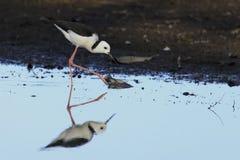 Échasse à ailes par noir 01 Photo libre de droits