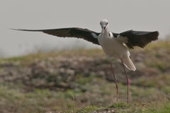 Échasse à ailes par noir Photographie stock