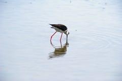 échasse Noir-à ailes Photos libres de droits