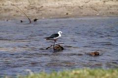 échasse Noir-à ailes Photo stock