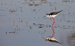échasse Noir-à ailes dans l'eau Photo stock