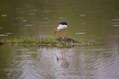 échasse Noir-à ailes près du nid Image stock