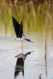 échasse Noir-étranglée, mexicanus de Himantopus Images libres de droits