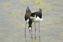Échasse Noir-Étranglée (mexicanus de Himantopus) image stock