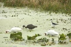 échasse Noir-étranglée pataugeant avec des ibises chez Orlando Wetlands Park Photo libre de droits