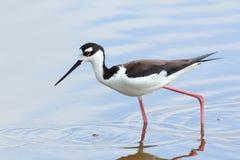 échasse Noir-étranglée - stationnement national de marais Photo libre de droits