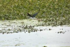 échasse Noir-étranglée volant au-dessus de l'eau chez Orlando Wetlands Park Photos libres de droits