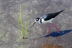 Échasse (Recurvirostridae) Photos stock