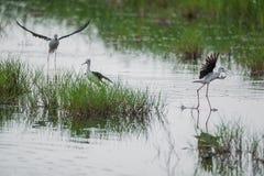 Échasses à ailes par noir Photo libre de droits
