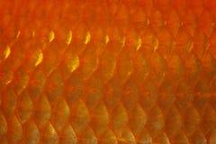 Échelle de poisson rouge Photographie stock