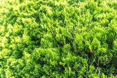 Échelle-feuilles adultes de juniperus chinensis une certaine famille du pin TR photos libres de droits