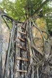 Échelle sur l'arbre de banian. Images libres de droits