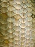 Échelles de poissons Photo libre de droits