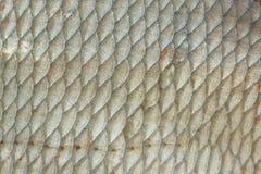 Échelles de poissons de brème Photos stock