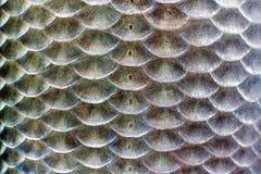 Échelles des poissons Image stock