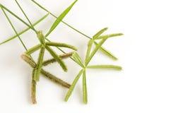 Échouez les wiregrass, herbe de rallonge coudée, khwae de Ya PAK (nom thaïlandais) (aegyptium de Dactyloctenium (L ) P Beauv ) Photos stock