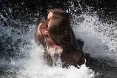 Éclaboussement de l'hippopotame Photos stock