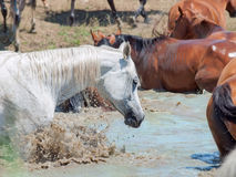 Éclaboussement du cheval Arabe dans le lac parmi le troupeau. Photo libre de droits