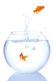 Éclaboussure de Goldfish Images libres de droits