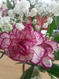 Éclaboussure de rose Image libre de droits
