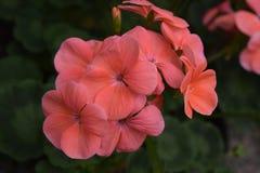 Éclaboussure des fleurs roses Images stock
