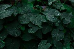 Éclairage discret, fond de nature, feuilles avec des baisses de pluie photographie stock