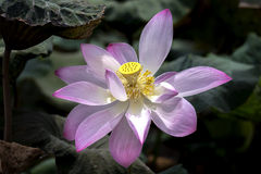 Éclat d'étamine de Lotus Photographie stock