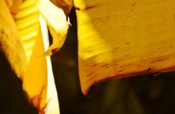 Éclat de lumière du soleil sur la feuille sèche de banane dans la ferme Image libre de droits