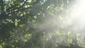 Éclat de rayons avec de la fumée par l'arbre banque de vidéos