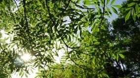 Éclat de Sun par les branches d'un arbre vert clips vidéos