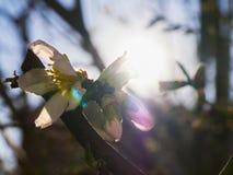 Éclat de Sun par les fleurs sur l'arbre Image stock
