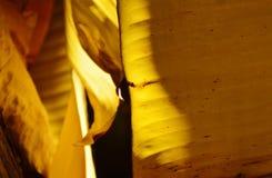 Éclat léger sur la feuille sèche de banane dans le jardin Photographie stock libre de droits