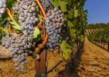 Éclatement des raisins dans Napa Valley photos libres de droits