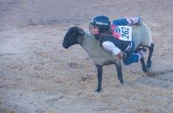 Éclater de mouton photos libres de droits