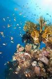 École colorée d'or et récif coralien Images stock
