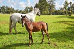 École d'équitation et élevage des chevaux de pur sang Photo stock