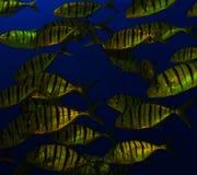 École d'or de poissons de tigre Image libre de droits
