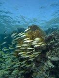 école de goatfish Photo stock