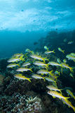 école de goatfish Photos stock
