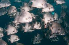 École de la natation d'espadons dans l'océan Images stock