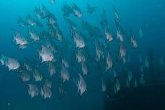 École de la natation d'espadons dans l'océan Photo stock