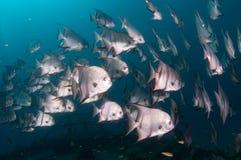 École de la natation d'espadons dans l'océan Photos stock